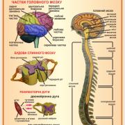 Стенд Нервова система (270301.10)