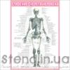 Стенд Будова скелету людини (270301.2)