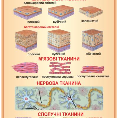 Стенд Тканини організму (270301.14)