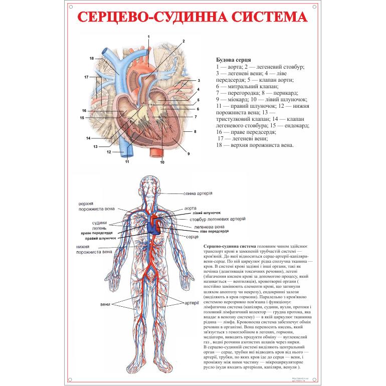 Стенд Серцево-судинна система (270301.18)